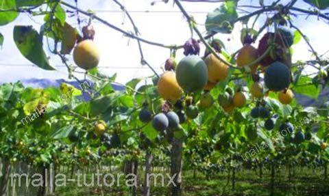 La malla tutora te sirve para diversos cultivos como el maracuyá