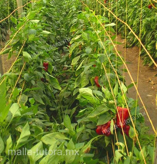 Entutorado de cultivo de pimientos con malla tutora HORTOMALLAS