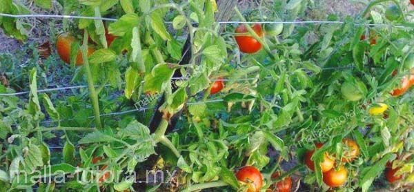 Cultivo de tomate entutorado con malla tutora HORTOMALLAS